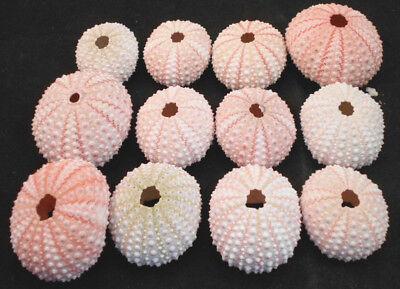 12 Pink Sea Urchin Seashells Shells Beach Wedding Craft Nautical Decor Airplant (Nautical Wedding Decor)