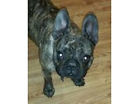 Female french bulldog for sale