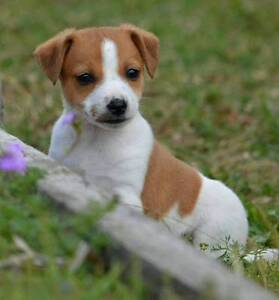 Mini Foxie, Miny Foxy or Miniture Fox Terrier Lismore Lismore Area Preview
