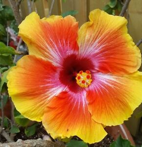 EXOTIC HAWAIIAN SUNSET  HIBISCUS WELL ROOTED LIVE STARTER PLANT 4