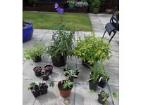 Instant Garden - Lot 2 - 16 x Mixed Hardy Garden Plants in Pots - + 3 Xtra FREE - £30 - Glenrothes