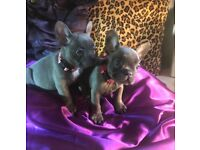 FRENCH BULLDOG SOLID BLUE PUPPIES