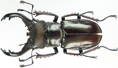 LUCANIDAE Lucanus lesnei Male 30~34mm ....!! Myanmar Insect