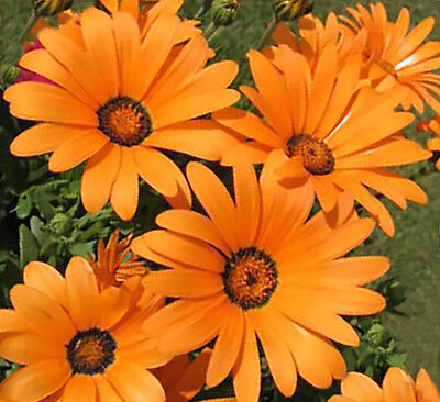 African Daisy Seeds BULK Heirloom Wildflower Osteospermum Cape Marigold Heat Sun (Bulk Daisy Seeds)