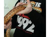 Corn snake & ginormous vivarioum for sale £150 ONO