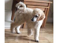 Cream Standard Poodle Puppy, KC Registered