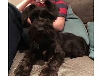 Miniature Schnauzer Dog Puppy Black
