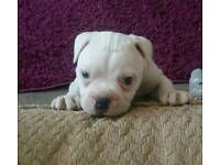 Female Old Tyme Bulldog Puppie