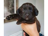 F2 Cockapoo Puppies For Sale