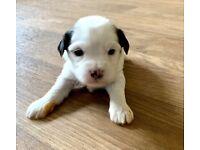 Tibetan Puppies now available 5 Star Licensed Breeder KC Reg
