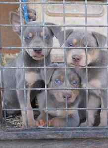 Fawn & Tan Kelpie PUPS Blackwater Central Highlands Preview