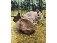 Two Netherland dwarf rabbits