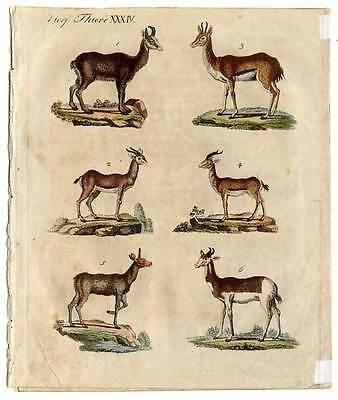 Antilopen-Gazellen-Tiere - Bertuch - Kupferstich 1800