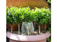 Topiary buxus mini tree. Garden plants flowers shruds ornaments furniture table chairs pot hose