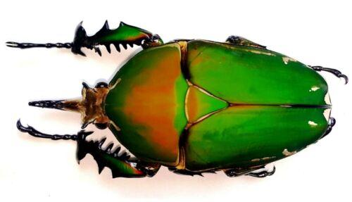 Mecynorrhina torquata male. XXXL SIZE 86 MM! Camerun. Very Rare!