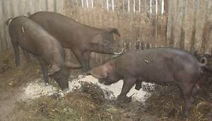 Large Black cross Berkshire female piglets Tweed Heads Area Preview