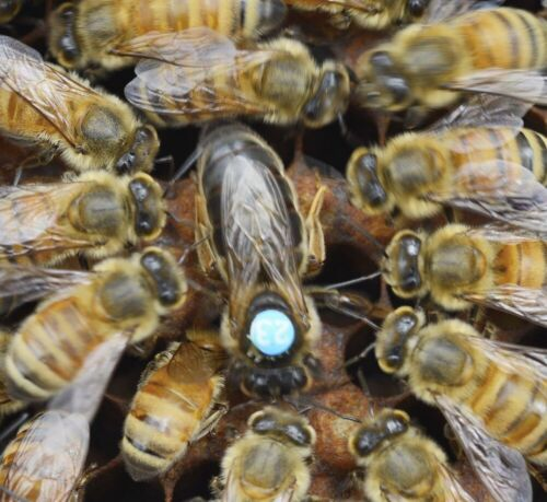 LIVE MARKED CARNIOLAN MATED QUEEN BEE ***READ  BELOW*** WE SHIP EVERY TUESDAY