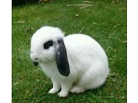 **Male** Mini Lop Rabbit