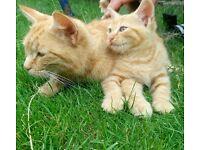 Beautiful 9 weeks old ginger kitten