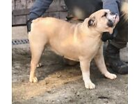 Kc registered english bulldog bitch for sale fawn and white great temperament
