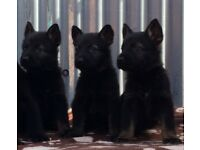 ***Outstanding Czech German shepherd Puppies***