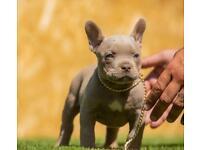 American bully puppy's