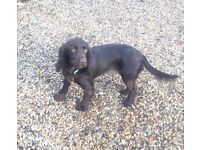 Beautiful cocker spaniel bitch one year old needs new home