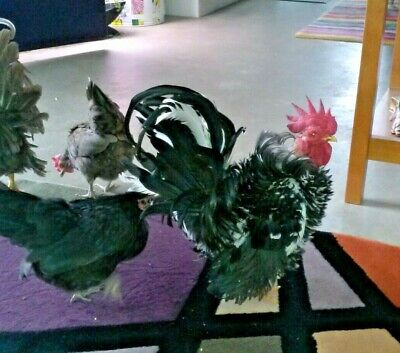 Serama Hatching Eggs 12 Frizzled Smooth Mottled - Show Stock Sz Ab Fertile