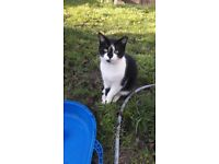 handsome 8 months old neutured male cat, black and white