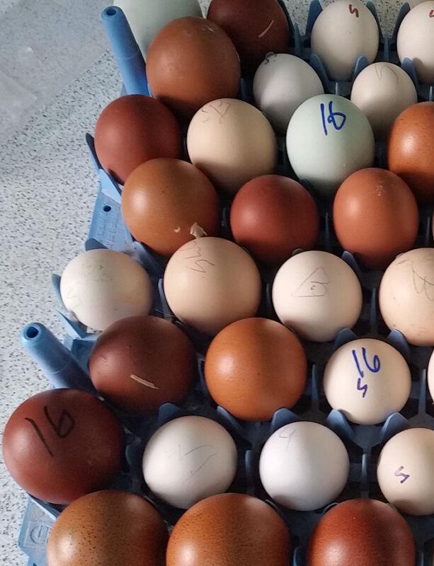 15++ PUREBRED Rare Breeds Hatching Eggs! Greenfire! POTLUCK! Cemani! FREE Ship!