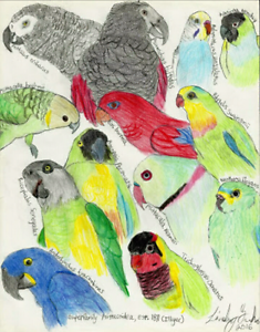 Wanted quaker ringneck alexandrine or conure Upwey Yarra Ranges Preview