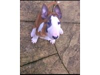 KC English Bull Terrier Pup