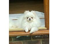 Cute 8 months old Pomeranian boy in white colour