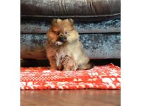 Stunning KC pomeranian female from black and tan parent