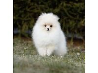 Cream/White XS Pomeranian Boy