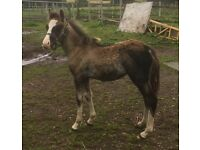 Black Welsh Sec C filly foal FREE To APPROVED HOME