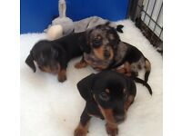 Dachshund Miniature Smooth Haired Puppies