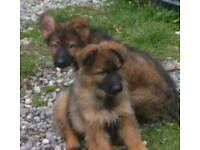 Puppy German Shepherds Dog KC