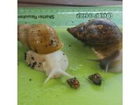 Giant African Land Snail babies approx. 3 months old