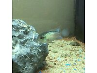 Electric Blue Acara (2-4cm Long)