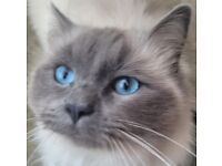 Beautiful, Blue Point Ragdoll Male for sale!