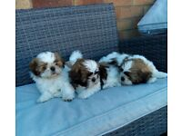 Shih-tzu puppies ,3 stunning pups ,ready now, 2 boys ,1 girl