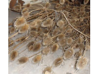 Dried 'Wild' Teasel Heads - Wedding table decoration - Dried Flower - Sewing Mouse Floral Craft Art