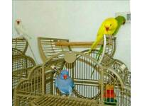 R0SERINGE CAN LEARN TO T A L K CAGE CAN DELIVER N0T BUDGIES