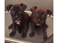 Staffordshire bull terried puppy