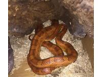 4 year old corn snake and vivarium