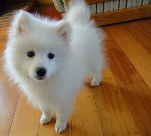 Wanted - Japanese Spitz puppy! Applecross Melville Area Preview