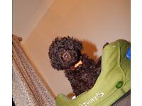 Beautiful Pedigree Toy Poodle boy