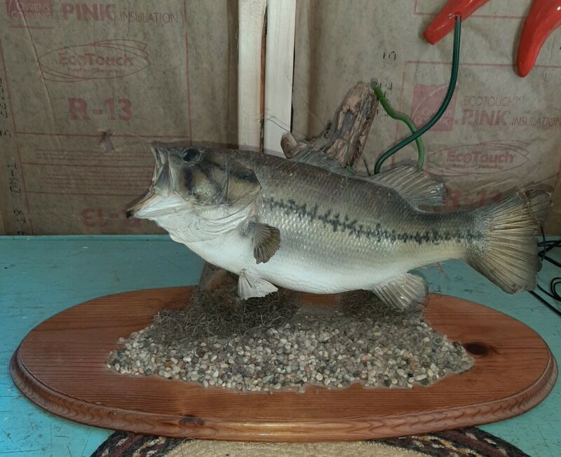 Vintage Real Skin Bass Fish Taxidermy Table Top Mount Cabin Decor 16 Inch Nice