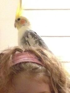 Lost Cockatiel Ainslie North Canberra Preview